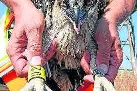 Censadas las parejas de águila pescadora en Marismas de Isla Cristina-Ayamonte