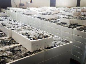 Intercambio de sardina por boquerón entre Portugal y España