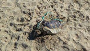 Encuentran muerta una tortuga de grandes dimensiones en una playa de Isla Cristina