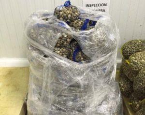Inspección Pesquera decomisa en Isla, Punta y Sanlúcar, tres toneladas de chirla de talla no reglamentaria