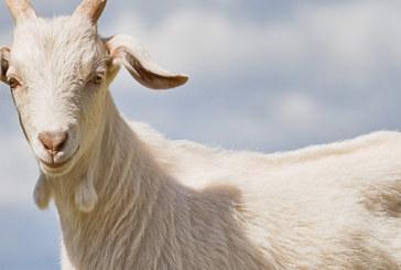 Las Cosas de Goyo «Mi cabra y yo»