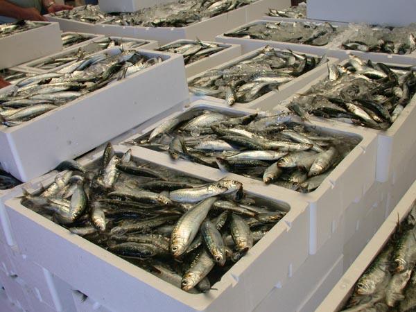 España y Portugal presentan un plan conjunto para la sardina