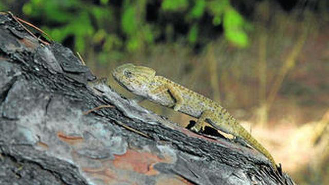 Alertan a Isla Cristina del peligro de extinción del camaleón