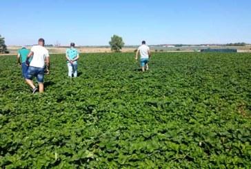 SAT La Redondela inicia la plantación de 3 millones de plantas de fresa
